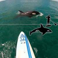Paddle boarding with an orca off the coast of New Zealand