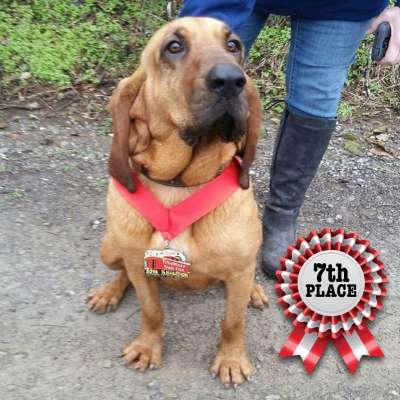 Ludivine the bloodhound: Half-Marathon dog